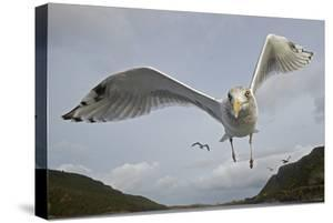 Herring Gull (Larus argentatus) close up of juvenile in flight, Flatanger, Norway, October by Markus Varesvuo