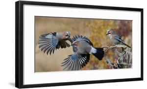 Jay, two fighting in mid-air with another observing. Norway by Markus Varesvuo