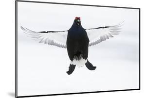 Male Black Grouse (Tetrao - Lyrurus Tetrix) Flying, Utajarvi, Finland, April by Markus Varesvuo
