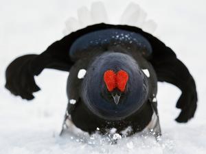 Male Black Grouse (Tetrao - Lyrurus Tetrix) in Snow, Utajarvi, Finland, May by Markus Varesvuo
