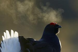 Male Black Grouse (Tetrao - Lyrurus Tetrix) with Breath Visible in Cold, Liminka, Finland, March by Markus Varesvuo