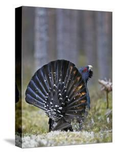 Male Capercaillie (Tetrao Urogallus) Displaying, Jalasjarvi, Finland, April by Markus Varesvuo