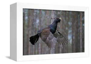 Male Capercaillie (Tetrao Urogallus) Flying, Jalasjarvi, Finland, April by Markus Varesvuo