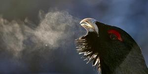 Male Capercaillie (Tetrao Urogallus) Head Portrait with Breath Visible in Cold Air by Markus Varesvuo
