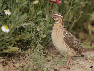 Male Common Quail (Coturnix Coturnix) Calling, Spain, May