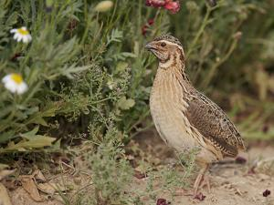Male Common Quail (Coturnix Coturnix) Calling, Spain, May by Markus Varesvuo