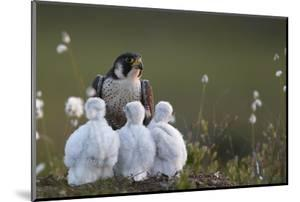 Peregrine falcon (Falco peregrinus) adult feeding chicks in nest, Vaala, Finland, June. by Markus Varesvuo