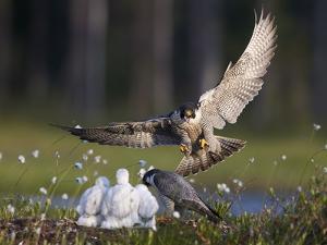 Peregrine falcon (Falco peregrinus) adult landing at nest with chicks, Vaala, Finland, June. by Markus Varesvuo