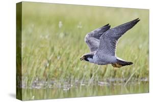 Peregrine falcon (Falco peregrinus) in flight, Vaala, Finland, June by Markus Varesvuo