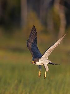 Peregrine falcon (Falco peregrinus) in flight,  Vaala, Finland, June. by Markus Varesvuo