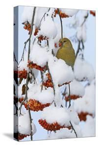 Pine grosbeak young male feeding on rowan berries covered in snow, Liminka, Finland by Markus Varesvuo
