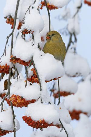 Pine grosbeak young male feeding on rowan berries covered in snow, Liminka, Finland