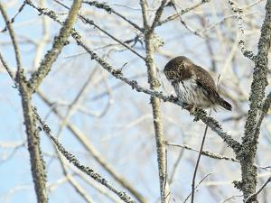 Pygmy owl perched in lichen covered tree, Helsinki, Finland by Markus Varesvuo