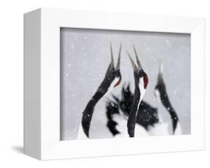 Red-Crowned Cranes (Grus Japonensis) Displaying And Calling In Snow, Hokkaido, Japan, February by Markus Varesvuo