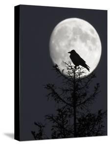 Silhouette of Hooded Crow (Corvus Cornix) Against Full Moon, Helsinki, Finland, December by Markus Varesvuo