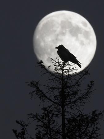 Silhouette of Hooded Crow (Corvus Cornix) Against Full Moon, Helsinki, Finland, December