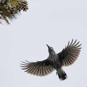 Spotted Nutcracker in flight to pine cones, Joensuu, Finland, September by Markus Varesvuo