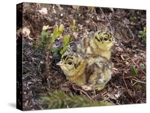 Two Capercaillie (Tetrao Urogallus) Chicks, Vaala, Finland, June by Markus Varesvuo