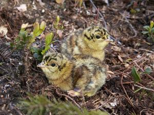 Two Capercaillie (Tetrao Urogallus) Chicks, Vaala, Finland, June by Markus Varesvuo