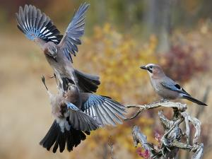 Two jays two fighting in mid-air, Norway by Markus Varesvuo