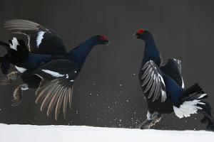Two Male Black Grouse (Tetrao - Lyrurus Tetrix) Fighting, Kuusamo, Finland, April by Markus Varesvuo