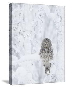 Ural Owl (Stix Uralensis) Resting in Snowy Tree, Kuusamo, Finland by Markus Varesvuo