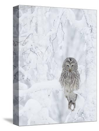 Ural Owl (Stix Uralensis) Resting in Snowy Tree, Kuusamo, Finland