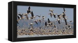 White-fronted goose and Taiga bean goose flocks, Latvia by Markus Varesvuo