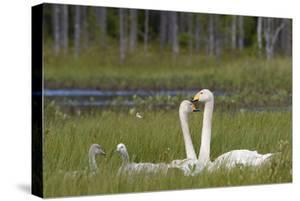 Whooper swans  (Cygnus cygnus) and cygnet, Vaala, Finland, July by Markus Varesvuo