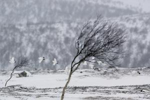 Willow Grouse (Lagopus Lagopus) Flock in Flight in Snow, Utsjoki, Finland, October by Markus Varesvuo