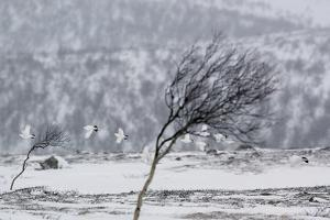 Willow Grouse (Lagopus Lagopus) Flock in Flight in Snow, Utsjoki, Finland, October by Markus Varesvuo