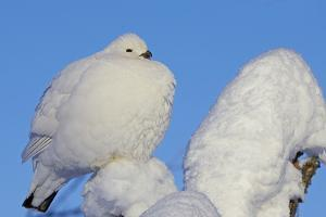 Willow Grouse - Ptarmigan (Lagopus Lagopus) Fluffed Up Perched in Snow, Inari, Finland, February by Markus Varesvuo