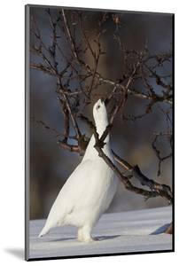 Willow Grouse - Ptarmigan (Lagopus Lagopus) Pecking Twig, Utsjoki, Finland, April by Markus Varesvuo