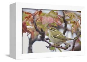 Yellow Browed Warbler (Phylloscopus Inornatus) Perched on Twig, Uto, Finland, September by Markus Varesvuo