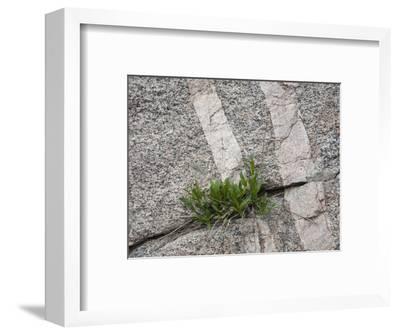 Plants Growing in a Crack in Granite Bedrock with Two Aplite Dikes