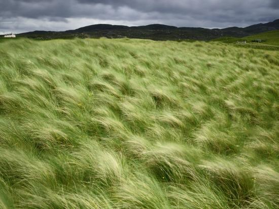 Marram Beach Grass Blowing on the Coast of the Isle of Lewis-Jim Richardson-Photographic Print