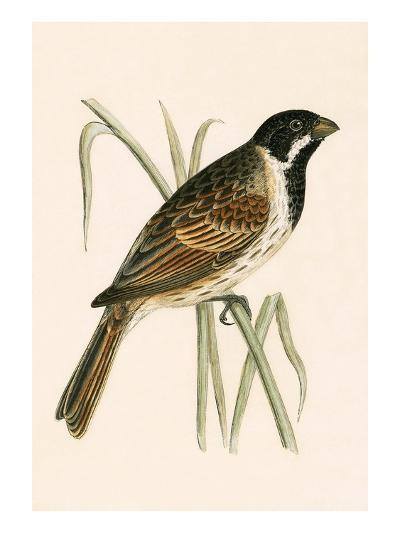 Marsh Bunting,  from 'A History of the Birds of Europe Not Observed in the British Isles'-English-Giclee Print