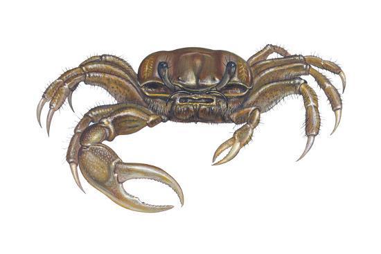 Marsh Fiddler Crab (Uca Pugnax), Crustaceans-Encyclopaedia Britannica-Art Print
