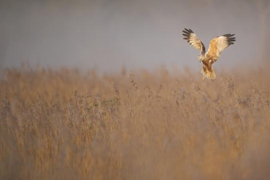 Marsh Harrier (Circus Aeruginosus) Adult Male in Flight Hunting over Reedbed at Dawn, Norfolk, UK-Andrew Parkinson-Photographic Print