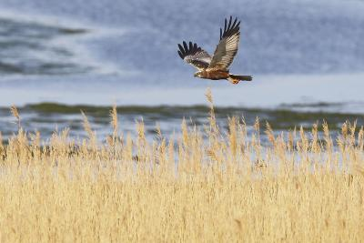 Marsh Harrier (Circus Aeruginosus) in Flight over Reedbeds, Texel, Netherlands, May 2009- Peltomäki-Photographic Print
