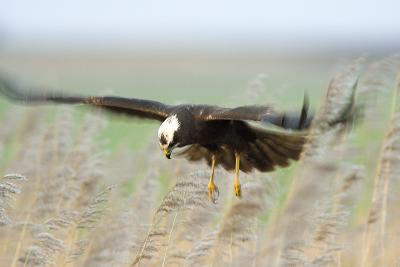 Marsh Harrier-Duncan Shaw-Photographic Print