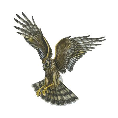 Marsh Hawk (Circus Cyaneus), Birds-Encyclopaedia Britannica-Art Print