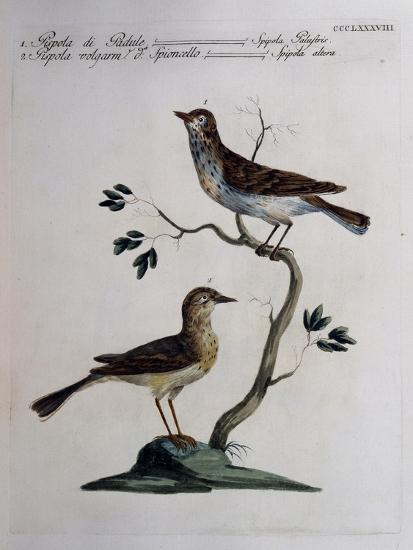 Marsh Meadow Pipit (Spipola Palustris) and Pipit known as Water Pipit (Spipola Altera)--Giclee Print