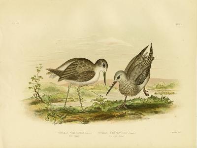 Marsh Sandpiper, 1891-Gracius Broinowski-Giclee Print