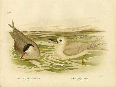 Marsh Tern, 1891-Gracius Broinowski-Giclee Print