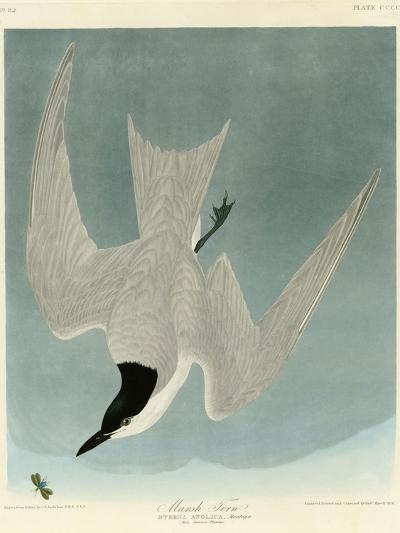 Marsh Tern-John James Audubon-Giclee Print