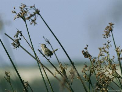 https://imgc.artprintimages.com/img/print/marsh-wren-perched-on-a-tall-grass_u-l-p4nez40.jpg?p=0