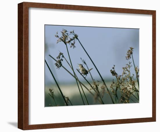 Marsh Wren Perched on a Tall Grass-Marc Moritsch-Framed Photographic Print