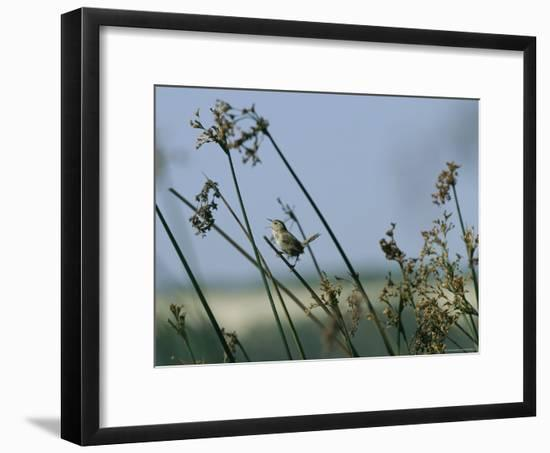 Marsh Wren Perched on a Tall Grass-Marc Moritsch-Framed Photographic Print