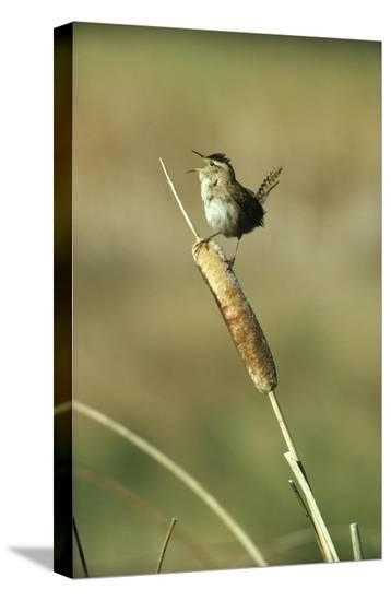 Marsh Wren singing while perching on a Common Cattail, Alberta, Canada-Tim Fitzharris-Stretched Canvas Print